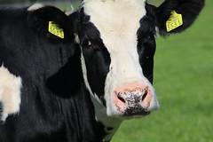 Delta Dubs Altaequire (excellentzebu1050) Tags: livestock dairycows cattle cow closeup animalportraits animal outdoor farm cowportrait coth5
