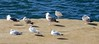 gulls on rock, Sunset Cliffs (Martin LaBar (going on hiatus)) Tags: california sandiegocounty sunsetcliffs pacificocean gull birds seagulls water