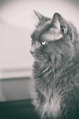 Ignoring You (flashfix) Tags: april022018 2018inphotos ottawa ontario canada nikond7100 40mm nikon flashfix flashfixphotography portrait cat feline whiskers ears kittynose fyero nebelung ragamuffin ragdoll fluffy graycat monochrome blackandwhite