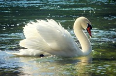 Ticino beauties ... (Simply Viola ( Busy +off-on )) Tags: cigno uccello ticino fiume natura bird swan river nature