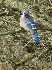 Blue Jay 2 (D. S. Hałas) Tags: halas hałas canada ontario haltonregion haltoncounty oakville shellpark chordata sarcopterygii aves passeriformes corvidae cyanocittacristata bluejay jay bird