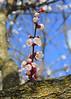 Apricot (witajny) Tags: tree bloom apricot park garden brooklynbotanicgarden newyork blossom spring seasons