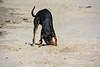 20180408 MARKGRAFENHEIDE (74).jpg (Marco Förster) Tags: dobermann hunde natur markgrafenheide ostsee strand frühling