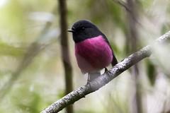 Pink Robin (Baractus) Tags: pink robin john oates cartwright reserve tasmania australia inala nature tours