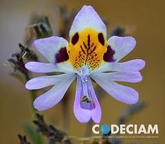 12 Schizanthus tricolor - Proyecto Santuario de la Naturaleza Quebrada de Córdova, Región de Valparaíso, Chile