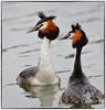 Great Crested Grebe (EXPLORE, Apr 11, 2018, #242) (RKop) Tags: greatcrestedgrebe d500 200500nikkorzoom raphaelkopanphotography copenhagen denmark