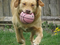Daisy has nothing but pure joy as she runs with her small ball. (kennethkonica) Tags: yellowlab labrador daisy pet animaleyes animalplanet animal canonpowershot canon usa midwest america indiana indianapolis indy color mood fun hoosier random global canine movement running ball action