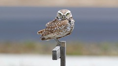 burrowing owl (quadceratops) Tags: fl18 florida nature cape coral burrowing owl 2018q2 perchportfolio