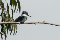 DSC_1103.jpg Belted Kingfisher, Schwan Lake (ldjaffe) Tags: schwanlake twinlakes beltedkingfisher