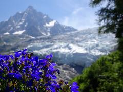 Glacier des Bossons and Aiguille du Midi. Chamonix. (elsa11) Tags: glacierdesbossons glacier aiguilledumidi chamonix gletscher gletsjer mountain alpes alpen alps montagnes france frankrijk hautesavoie rhonealps flowers dof