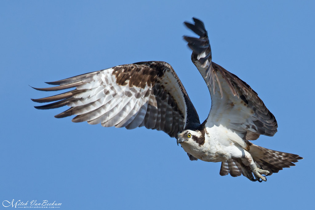 Osprey Take Off (Explored)
