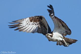 Osprey Take Off (Explored)