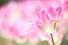 Tulip (Teruhide Tomori) Tags: nature flower spring japan japon kyoto tulip kyotobotanicalgarden plant