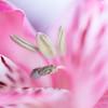 ''Rêver mieux!'' (pascaleforest) Tags: fleur flower macro art artistique passion nikon nature sigma douceru rose pink