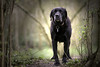 Faithful companion (Chris Johnston Photography) Tags: buddy labrador blacklab samyang 135mm f2 samyang135mm pentax k1 pentaxk1 woodland walk woodlandwalk pets friend