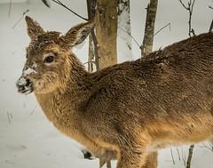 Hey Weatherman! (Dr. Farnsworth) Tags: deer mammal winter food fur nose snow ice fernridge mi michigan spring april2018