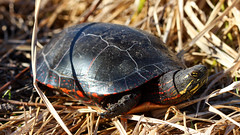 Painted turtle (Chrysemys picta) in situ (phl_with_a_camera1) Tags: painted turtle chrysemys picta situ animal closeup detail nature reptile herping herp spring