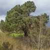 Pine at Broomhill (prajpix) Tags: pine scots caledonian woods trees forest woodland pinewoods nature