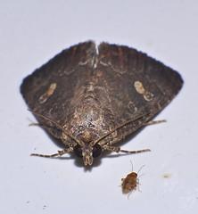 Moth Amyna axis Bagisarinae Noctuoidea Airlie Beach rainforest P1240334 (Steve & Alison1) Tags: moth amyna axis bagisarinae noctuoidea airlie beach rainforest