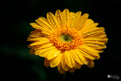 Colorful of Gerbera (Hồ Viết Hùng (Thanks so much for 1mil. views!) Tags: flowers nature plant garden gardenflowers vietnam dalat spring gerbera asteraceae