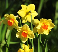 Four Daffodils - Woodhorn Cemetery (Gilli8888) Tags: nikon p900 coolpix nature northeast northumberland flowers flora woodhorn woodhornvillage cemetery woodhornvillagecemetery daffodils yellow four