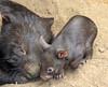 wombat Duisburg BB2A6829 (j.a.kok) Tags: mammal wombat buideldier australie australia animal duisburg zoogdier dier moederenkind motherandchild babywombat