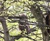 Great Horned Owl - juvenile (schochohdude) Tags: juvenile kentucky logan schochoh greathornedowl