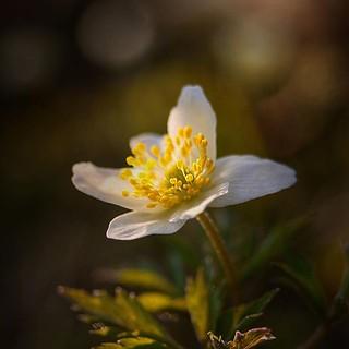 ~ wood anemone ~ Riddarhyttan Sweden 20-4-2018