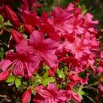 Au jardin, azalée japonaise, Bosdarros, Béarn, Pyrénées Atlantiques, Aquitaine, France. thumbnail