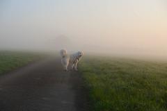 Our kind of happy hour (balu51) Tags: morgenspaziergang morgen morgennebel sonnenaufgang frühling hund kuvasz ungarischerhirtenhund april 2018 copyrightbybalu51