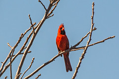 Northern Cardinal (fotofrysk) Tags: northerncardinal redbird commoncardinal cardinaliscardinalis tree twigs skyblue red germanmillssettlerspark canada ontario thornhill cityofmarkham afsnikkor200500mm56eed nikond7100 201804231342