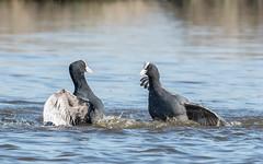 Eurasian Coots (2 of 3) (tickspics ) Tags: keyhaven hampshire birds uk eurasiancoot fulicaatra rallidae