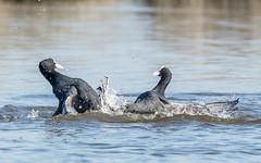 Eurasian Coots (3 of 3) (tickspics ) Tags: keyhaven hampshire birds uk eurasiancoot fulicaatra rallidae