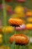 DSC_4141 (Oleg1961) Tags: tokina atx pro 100mm f28 d macro autumn flowers insects dew grass