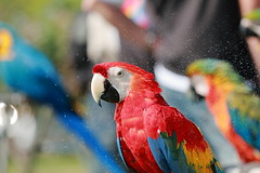 IMG_2342M Parrot. オウム. 金剛鸚鵡. (陳炯垣) Tags: outdoor parrot bird nature colorful