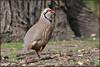 Red-legged Partridge (image 1 of 3) (Full Moon Images) Tags: rspb sandy lodge thelodge wildlife nature reserve bedfordshire bird red legged partridge redlegged