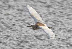 Relluhegri-Squacco Heron-Ardeola ralloides (sigmundurasgeirsson) Tags: relluhegri squaccoheron ardeolaralloides
