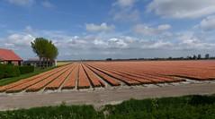 Foto Roel van Deursen Bollenpracht Goeree Overflakkee - Oude Tonge 2018-04-23 (5) (Roel van Deursen) Tags: tulpen vol bloei op goereeoverflakkee 2018