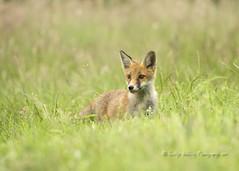 Fox (pixellesley) Tags: fox redfox vulpesvulpes curious cub peeking hiding grasses field uk animal wildlife wild free mammal hunting foraging lesleygooding