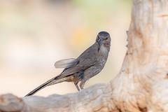 CC7A3474.jpg (gilamonster8) Tags: bokeh feather 5dmarkiv wildlife explored canon animal bird naturetop flickrexplore arizona eos ngc tucson