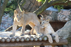 Playful Lion Cubs (Rckr88) Tags: johannesburgzoo southafrica johannesburg zoo south africa playful lion cubs playfullioncubs lioncubs cub lions bigcat animal animals mammals mammal zoos nature outdoors travel travelling
