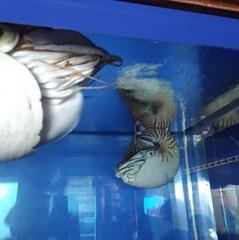 是鸚鵡螺!