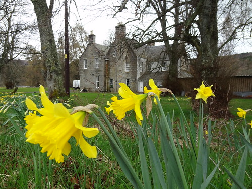 daffodils at House in Crathie