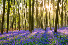 Micheldever bluebells (LongLensPhotography.co.uk - Daugirdas Tomas Racys) Tags: april england english may micheldever beech bloom blue bluebell bluebells bright carpet colour flora forest illumination light low morning purple rays shadows spring sun sunrise sunshine wood woods