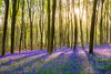 Micheldever bluebells (LongLensPhotography.co.uk - Daugirdas Tomas Racys) Tags: april england english may micheldever beech bloom blue bluebell bluebells bright carpet colour flora forest illumination light low morning purple rays shadows spring sun sunrise sunshine wood woods