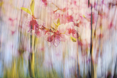 Spring Impressions (Karen McQuilkin) Tags: icm ownlayers cherrytrees