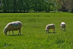 1464-30L (Lozarithm) Tags: lacock lacockabbey nt wilts sheep pentax zoom k1 28105 hdpdfa28105mmf3556eddcwr