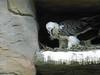 bearded vulture on it's nest (Beyond the grave) Tags: berlin germany beardedvulture zoo