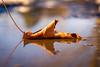 Melting Snow = Puddles (Nicholas Erwin) Tags: nature reflection puddle leaf leaves water spring naturephotography contrast colorful colourful goldenhour golden fujifilmxt2 fujifilm fujifilm1855 xf1855 1855 waterbury vermont vt unitedstatesofamerica usa bokeh depthoffield dof fav10 fav25 fav50