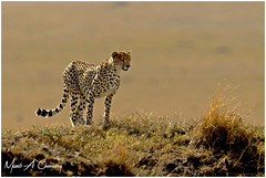 The Elegant Spots! (MAC's Wild Pixels) Tags: theelegantspots cheetah acinonyxjubatus animal mammal bigpussycat carnivore predator hunter wildlife beautifulpussy wildafrica wildanimal africanwildlife wildlifephotography goldenpussy sunrise goldenhour goldenlight safari gamedrive outdoors outofafrica wildpussy masaimara maasaimaragamereserve kenya macswildpixels spottedfeline spottedpussy spottedbeauty coth ngc coth5 npc alittlebeauty fantasticnature